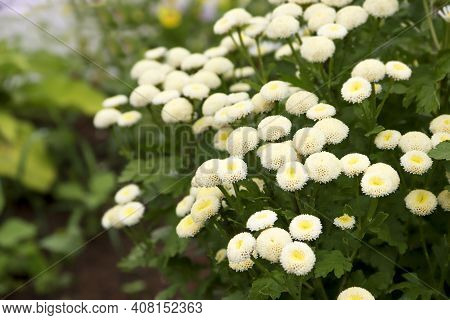 Close-up Of White Flowers Blooming Outdoors, Chamomile Background.