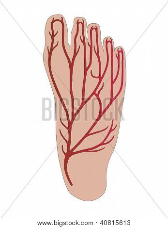 Foot With Veins Of The Person