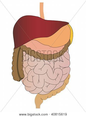 Vector A Stomach Of A Gut A Liver Of The Person