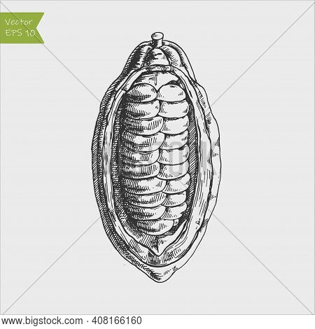 Cocoa Beans Freehand Drawing, Chocolate Fruit, Vector Illustration, Invigorating Ingredient Cocoa Dr