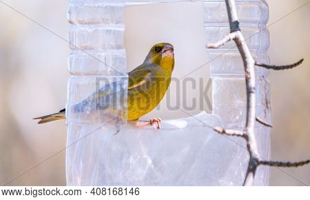 Greenfinch Sitting On A Bird Feeder. Big Plastic Bottle Used As Feeder For Birds. Taking Care Of Bir