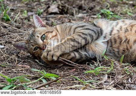 Close Up Tabby Cat Was Lying Down On The Ground