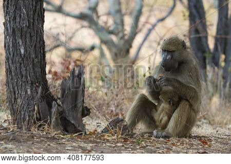 Chacma Baboon Mother (papio Ursinus) Sitting On The Ground Holding Infant Baby Eating Leaves In Hwan