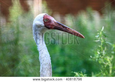 Grus Leucogeranus, Siberian White Crane.