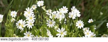 Spring Flowering Banner Background With White Wildflowers