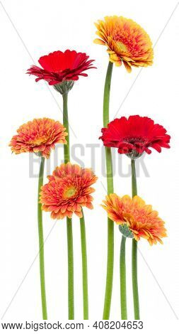 Vertical   gerbera flowers with long stem isolated over white background. Spring bouquet.