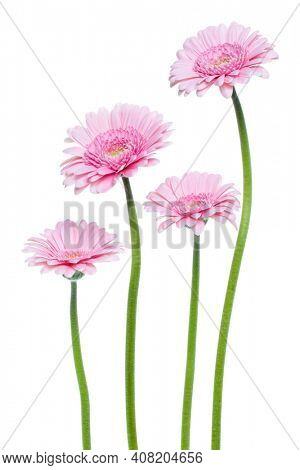 Vertical pink gerbera flowers with long stem isolated over white background. Spring bouquet.