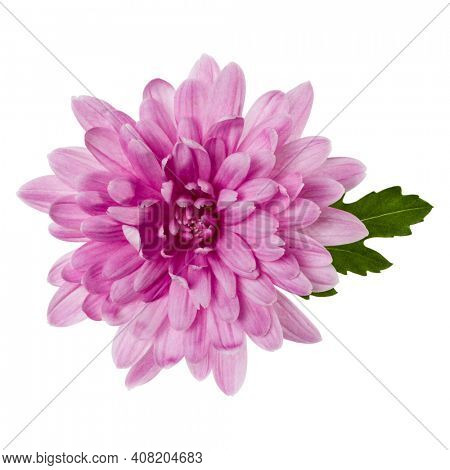 one chrysanthemum flower head with green leaves isolated over white background closeup. Garden flower, no shadows, top view, flat lay.