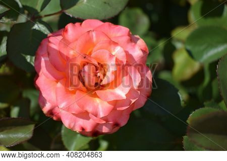 Closeup Of Beautiful Orange Red Rose In Garden. Pale Red Orange Rose Flower On Background Blurry Ros