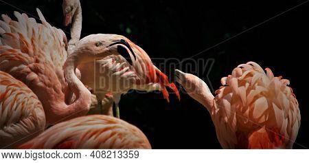 Rózsaszín Flamingók Harca A Veszprémi Állatkert Kifutójában Nyáron