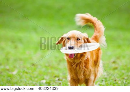Photo Of Golden Retriever Having Fun At Outdoor Walk. Happy Dog Catch And Retrieve Flying Disk. Acti