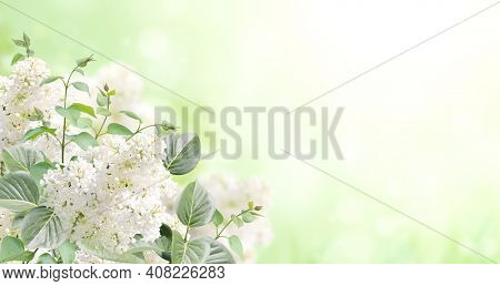Branch of Lilac on sunny nature spring background. Summer scene with twig of Common Lilac (Syringa vulgaris) and flowers of white color. Horizontal spring banner with flowers. Copy space for text