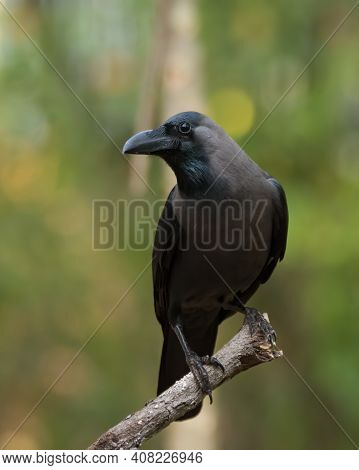 Single House Crow (corvus Splendens), Resting On A Perch. Also Called The Grey-necked Crow.