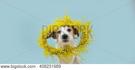 Dog Spring. Funny Happy Jack Russell Standing Hind Two Legs. Isolated On Blue Colored Background. Ha