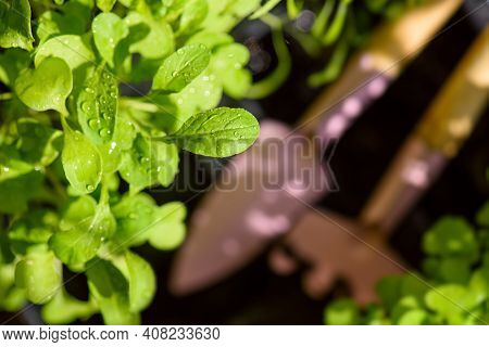 Fresh Aromatic Herbs In Pots On Balcony Garden. Home Or Kitchen Gardening. Top View On Fresh Sprouts