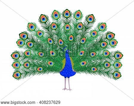 Beautiful Peacock. Cartoon Bird With Ornamental Feathers, Character Of Nature With Decorative Elegan