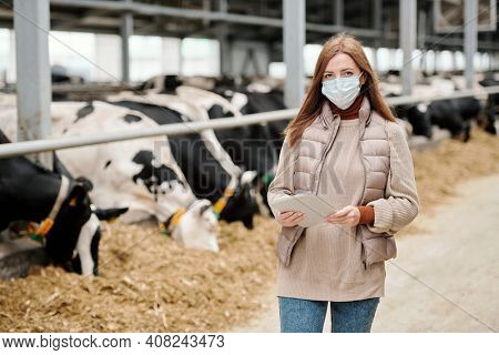 Female worker of animal farm in casualwear and protective mask standing against long aisle and large paddock with herd of purebred milk cows