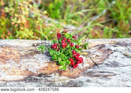 Ripe Lingonberry Berries Grow In The Summer Forest