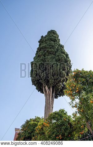 Old Tall Cypress Tree On Blue Cloudy Sky Background,  Low Angle View. Big Coniferous Tree Over Sour