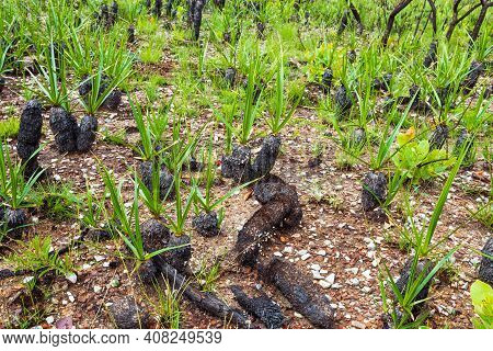 Canela De Ema Plants, Burned And Growing, Fire-resistant Plant That Goes Into Self-combustion. Plant