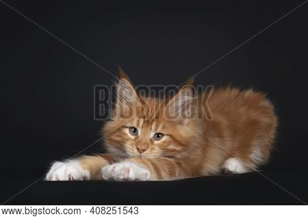 Handsome Red With White Maine Coon Cat Kitten, Laying Down With Front Paws Stretched Like Yoga. Look