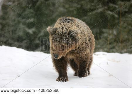 brown bear walk on snowy meadow in winter forest