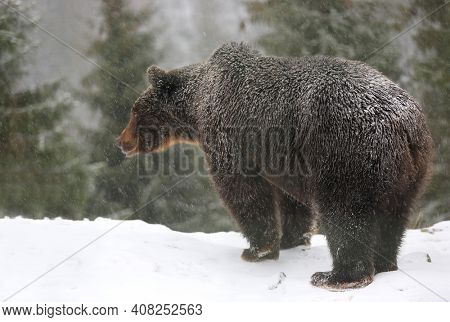 brown bear stay on snowy meadow under snowfall in winter forest