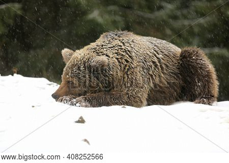 a big brown bear lies on a snowy meadow in a winter forest