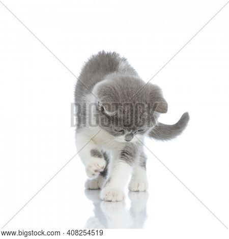 adorable british shorthair cat checking out what's under her paw and standing against white background