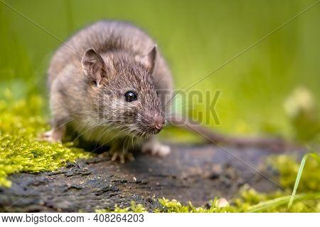 Brown Rat (rattus Norvegicus) Walking In Grass On Bank At Night. Netherlands. Wildlife In Nature Of