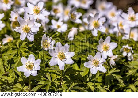 Wood Anemone (anemonoides Nemorosa) Close Up Of Blooming Plants In Spring Sun. Wildlife Scene Of Spr