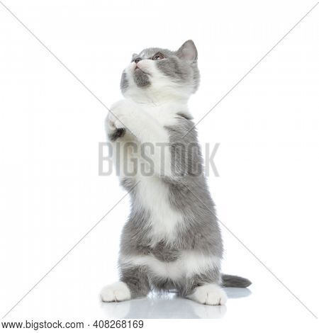 british shorthair cat standing on hind legs and praying against white background