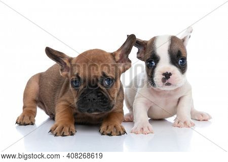 two french bulldog dogs with white and fawn fur are looking at the camera and lying down