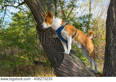 Fearless Basenji Dog Standing On An Apricot Tree Branch And Watching Around At Fall Season