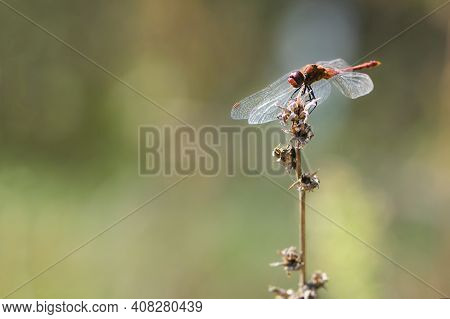 Dragonfly On A Background Of Dry Autumn Plants. Red Dragonfly With Red Eyes Sits On A Dry Meadow Pla