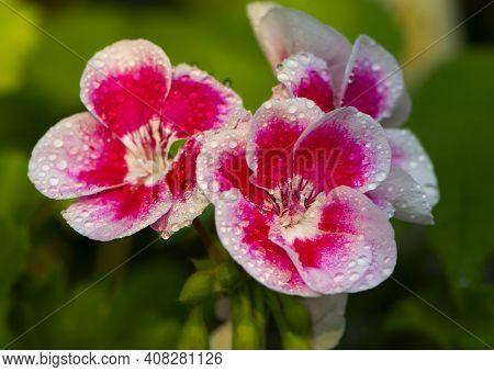 Beautiful Delicate Pink Geranium Flower With Water Drops. Pink Flowers Of Geranium Pelargonium Pelta