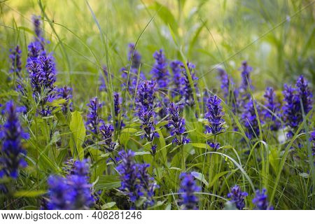 Blue Wildflowers In Green Grass. Ajuga Reptans, Or Carpet Horn, Is A Blue-flowered Perennial Plant T