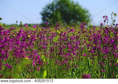 Beautiful Spring Pink Wildflowers Viscaria Vulgaris On A Blooming Meadow Close-up. Delicate Flowers
