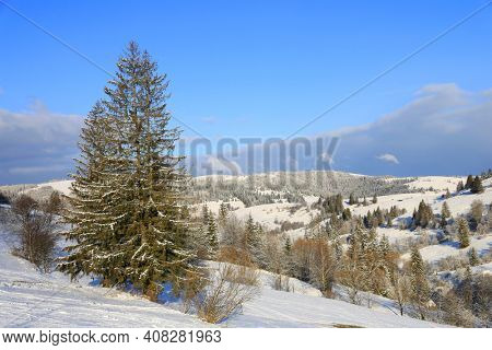 winter landscape with pine tree on mountains slope, Carpathians in Ukraine
