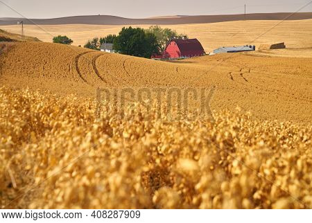 Chickpea Field And Farmstead. Chickpea Field On The Rolling Hills In The Palouse. Washington State,