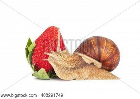 Snail And Strawberry On White Background. Roman Snail Or Helix Pomatia Isolated On White. Garden Sna