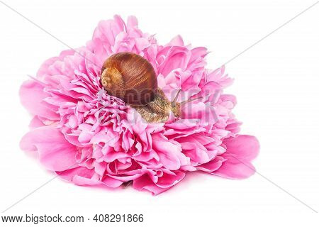Snail On A Pink Peony On A White Background. Roman Snail Or Helix Pomatia, Isolated On A White Backg