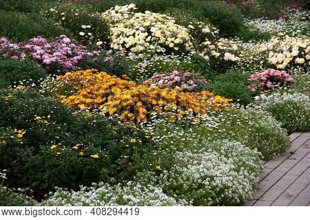 Fragment Of A Collection Of Chrysanthemums In A Botanical Garden. Beginning Of Blossoming. On Edge O