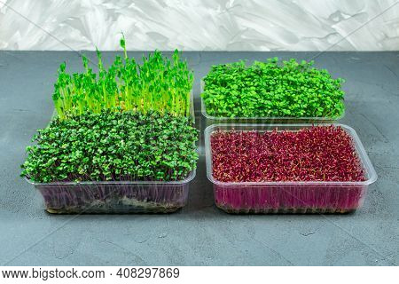 Sprouted Microgreens Of Amaranth, Red Cabbage, Radishes. Germinating Microgreen Seeds At Home. Vegan
