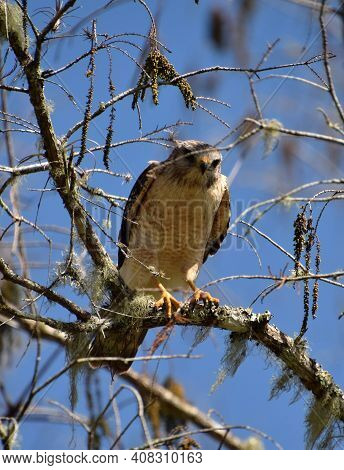 Hawk Pereched In A Tree Florida Everglades Wildlife