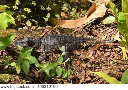 Young Alligator In The Florida Everglades Natural Habitat