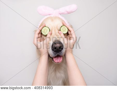 A Cute Golden Retriever Is Sitting Relaxed From Spa Treatments On A White Background With Cucumbers
