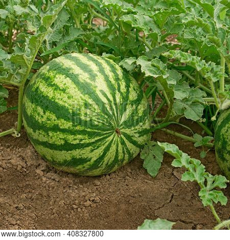 Striped Watermelon Ripening In A Vegetable Garden On A Summer Day