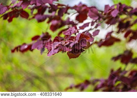 The Blossoming Grade Lilac In A Botanical Garden Of The City Of Minsk, Belarus. Spring In Minsk. Blo