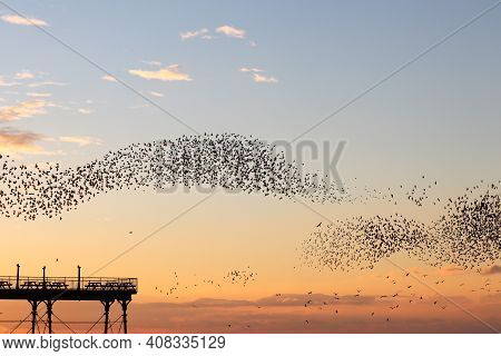 A Murmuration Of Starlings Twisting And Turning As They Evade A Pursuing Peregrine Falcon